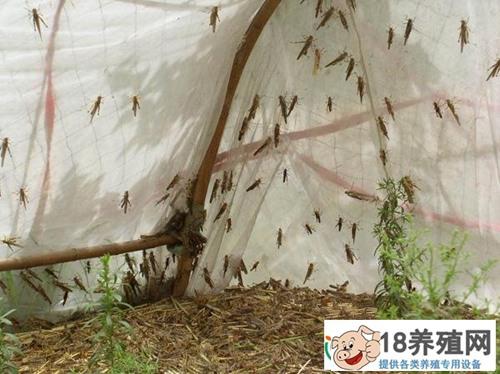 蚂蚱的饲养管理