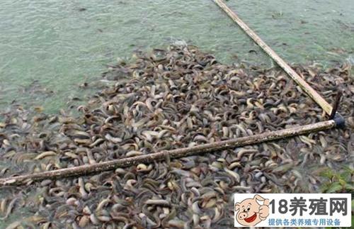 网箱泥鳅养殖技术 养殖教程