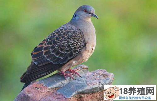 斑鸠一年能繁殖几窝