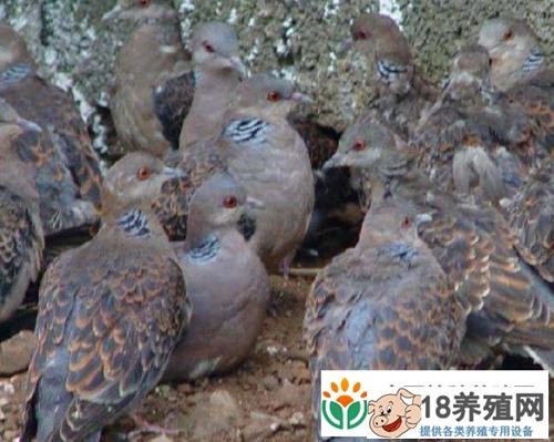斑鸠可以人工养殖吗