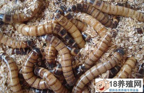 黄粉虫卵的收集方法(2)