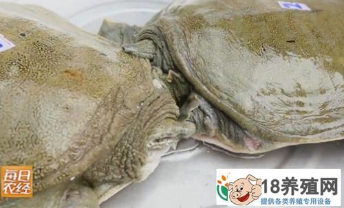 仿野生养殖甲鱼 咬人的甲鱼竟然能多赚钱
