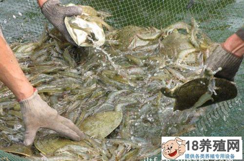 甲鱼生态养殖场的建设(3)