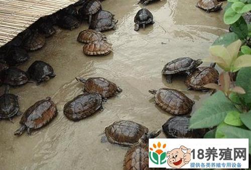 2016年龟价格遇冷,龟鳖养殖户该如何应对