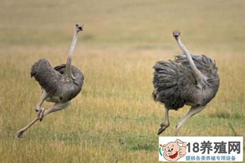 鸵鸟养殖技术要点(2)