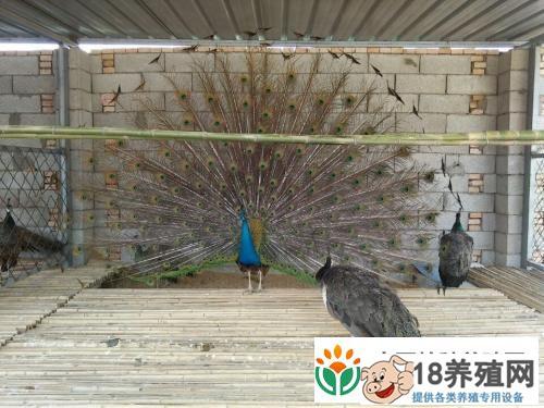 孔雀一些常见的疾病(4)
