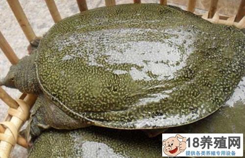 养殖甲鱼必须要重视非病原性疾病