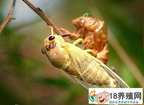 金蝉养殖为什么不挣钱(2)
