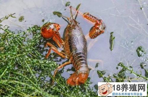 同是养殖小龙虾,有人欢喜有人愁,小龙虾该怎么养才能赚到钱?