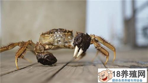 湖州卢瀛峰折腾螃蟹巧赚钱,一只大闸蟹卖到160元!