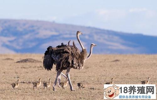 鸵鸟养殖中的四大要点(2)