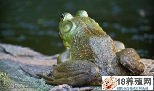 牛蛙的哪些部位不能吃呢?