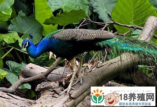 蓝孔雀葡萄球菌病的防治措施(2)