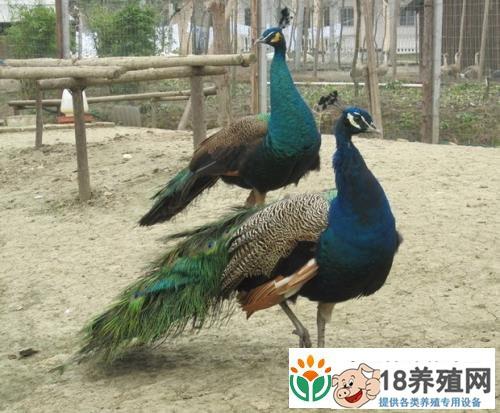 孔雀养殖之房舍