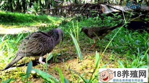 斑鸠什么时候繁殖