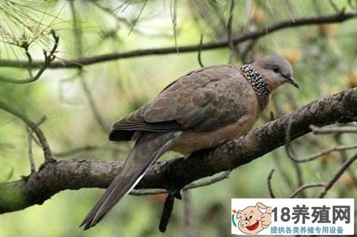 斑鸠能养殖吗 斑鸠一年繁殖几窝