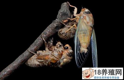 金蝉养殖效益分析