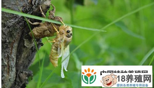 葡萄园能养金蝉吗
