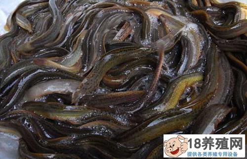 冬春季养殖泥鳅管理方法