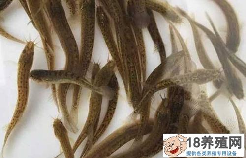 养泥鳅技术:小泥鳅怎么养