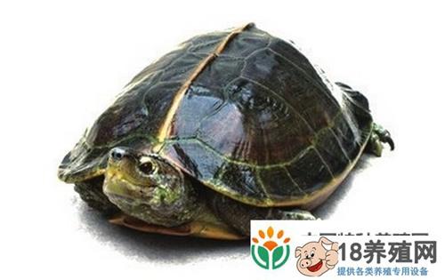农广天地养龟:亚洲巨龟养殖技术