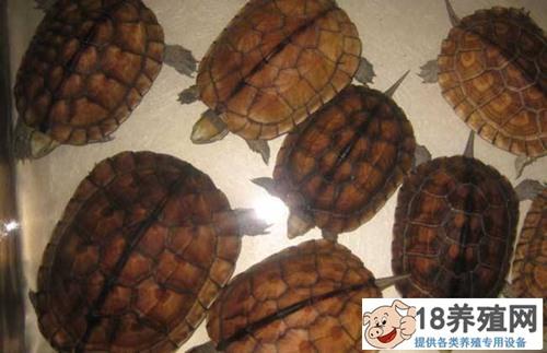 乌龟有哪些品种?养什么品种的龟赚钱?