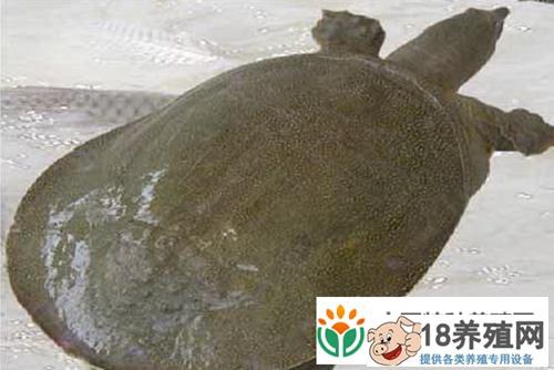 野生甲鱼和人工养殖有什么区别?(3)