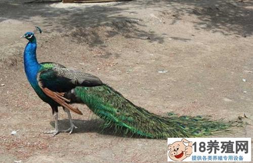 孔雀养殖基地的建设与管理(2)