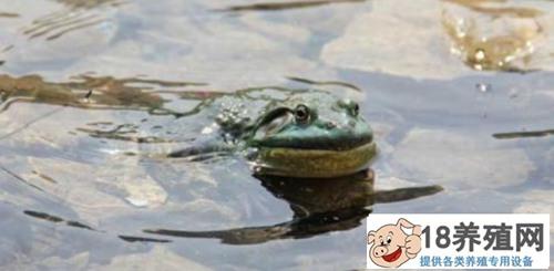 牛蛙的养殖市场前景好吗?