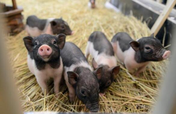 """如何减少猪场的""""弱窝"""",提高养猪效率!"""