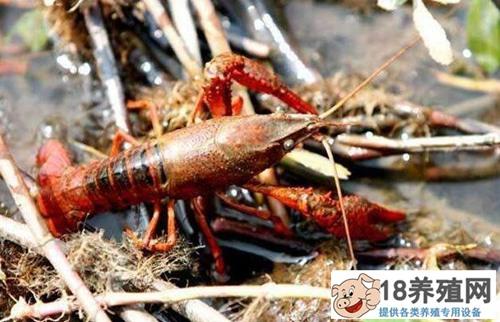 稻田养虾的现状分析,以及面临的三个问题