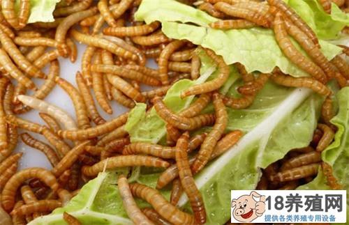 喂黄粉虫对细节及技法要求(2)