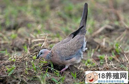 斑鸠养殖场的建设与管理(2)