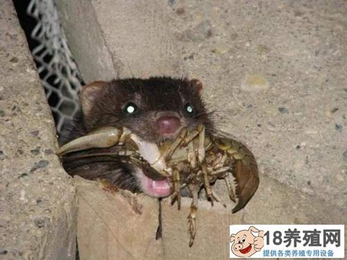 北美水貂介绍
