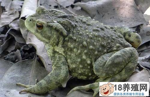 蟾蜍产卵池孵化池和蝌蚪池的建设(2)