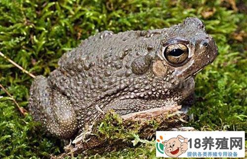 蟾蜍产卵池孵化池和蝌蚪池的建设(3)