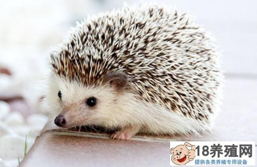 非洲宠物刺猬怎么养(2)