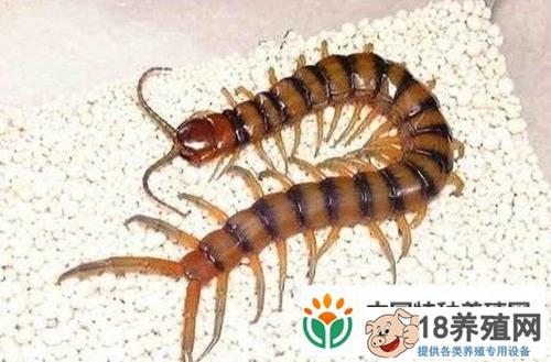 蜈蚣养殖技术要点