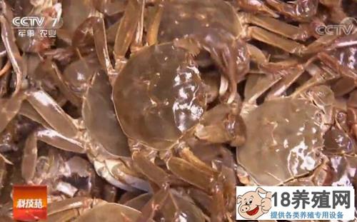 种草补钙放凉水 就为养出金贵大闸蟹