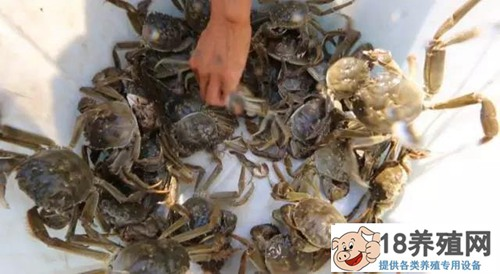庄红根养大闸蟹的方法很神秘,养蟹后水更清了!