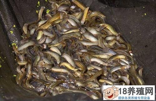 泥鳅无土养殖技术