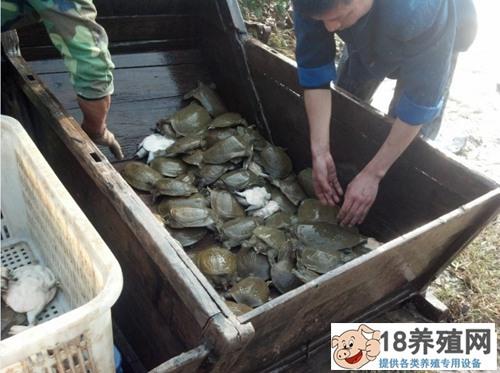 生态甲鱼养殖要点(3)