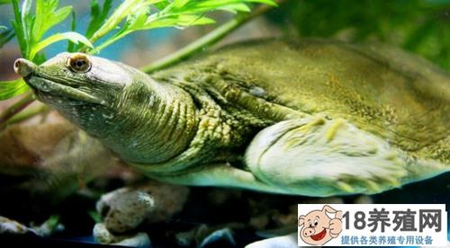 生态甲鱼养殖要点