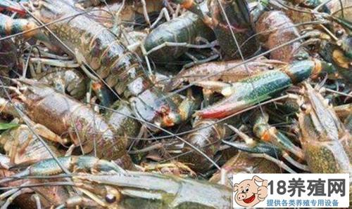 """试养澳洲龙虾每亩利润达万元,""""游""""出致富新路子!"""