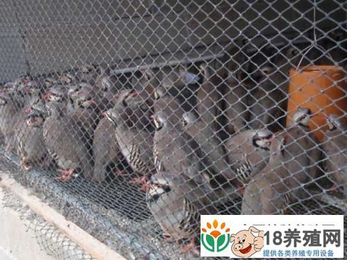 斑鸠的家养技巧及喂养方法