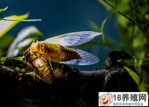 金蝉养殖:从卵到成虫要养3到6年
