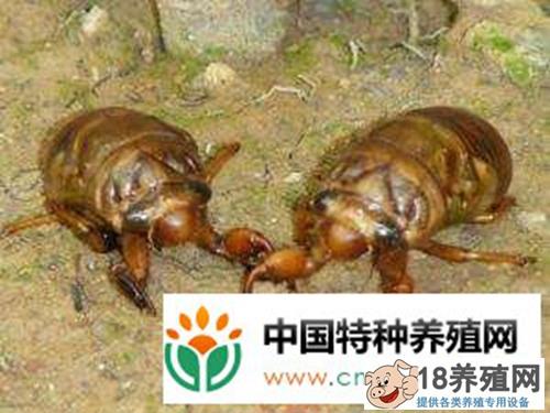 金蝉养殖:从卵到成虫要养3到6年(2)