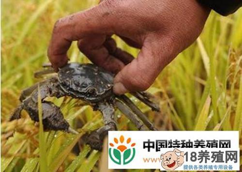 稻田养河蟹新模式 稻蟹共生又丰收