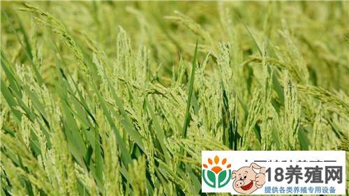 钟振芳种水稻不施肥不打药一亩地年收入一万元
