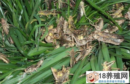 冬天如何饲养蝗虫:蝗虫在多少温度下生长速度快?